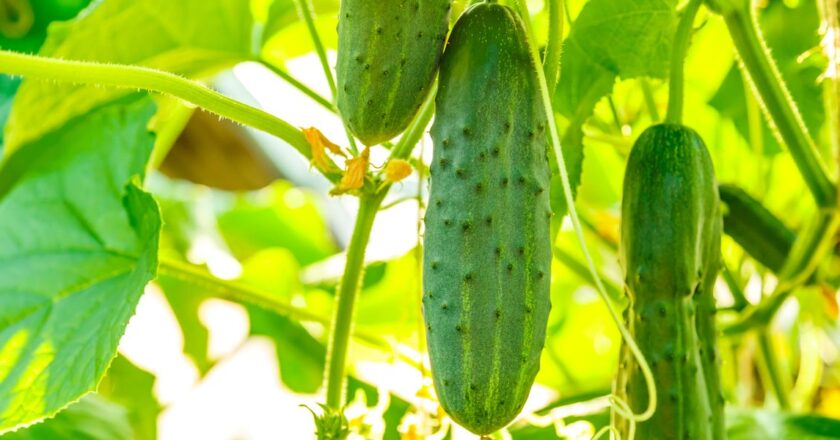 Find Out Why Cucumber Leaves Turn Yellow